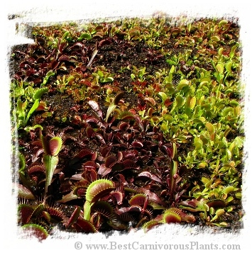 Dionaea muscipula {Mix of different forms}